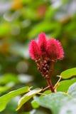 Unique red plant found in Allerton Garden, Kauai Island Royalty Free Stock Photography