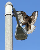 Unique Red Tail Hawk landing on lamp post Stock Images