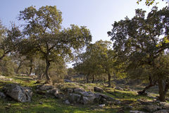 Unique Relict Oak Tavor Forest  in Galilee,Israel Royalty Free Stock Photo
