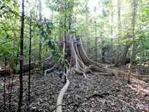 Unique root of big tree in the jungle Stock Photography