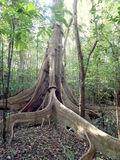 Unique root tree in rain forest Stock Photos