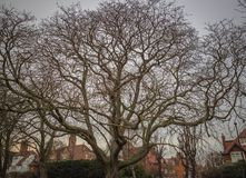 All encompassing tree seeking light. A unique shaped tree in a local park in chiswick london encompassing light and spanning many houses Royalty Free Stock Photo
