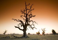 Gnarled Tree and Summer Heat. A unique skeleton of a majestic tree on a field in Australia. Tobacco filter added Stock Photo