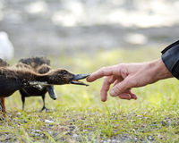 Unique & special moment of wild duckling making contact with human man royalty free stock image