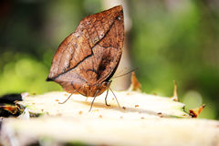 Unique species of butterfly Royalty Free Stock Images