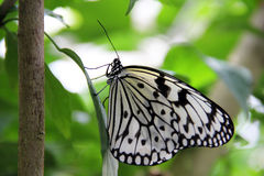 Unique species of butterfly Royalty Free Stock Photo