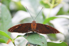 Unique species of butterfly Royalty Free Stock Image