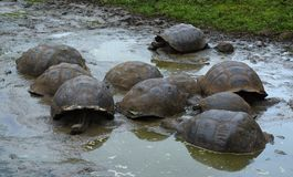 Group of Galapagos turtles in pool Royalty Free Stock Photos