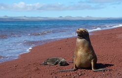 Galapagos sea lion with cub 2. Unique species of wildlife on the Galapagos Islands Ecuador. Sea lion and newborn cub on the beach stock photography