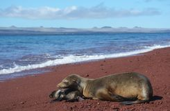 Galapagos sea lion with cub on beach. Unique species of wildlife on the Galapagos Islands Ecuador. Sea lion and newborn cub on the beach stock photos