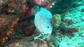 Unique spotted box puffer fish on clear clean seabed underwater of Maldives. stock video footage