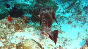 Unique spotted box puffer fish on clear clean seabed underwater of Maldives. stock footage