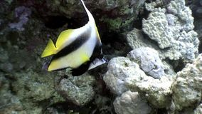 Unique striped yellow fish on underwater seabed of natural sea aquarium. Unique landscape, rocky pinnacles, canyons, walls and caves. Beautiful relax array of stock video footage