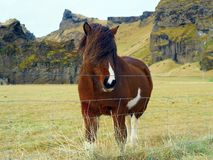Unique style Icelandic horse. Brown Iceland horse with front hair as their style standing on the grass field Royalty Free Stock Photography