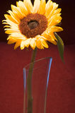 Unique Sunflower. A single sunflower in a glass vase royalty free stock images