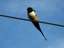Unique swallow sitting on the wire Royalty Free Stock Photography
