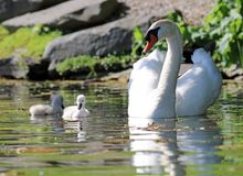 Unique swan with babies in a lake, high definition photo of this wonderful avian in south america. Unique swan with baby cygnets in a lake, high definition royalty free stock image