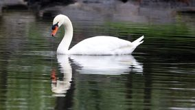 Unique swan in a lake, high definition photo of this wonderful avian in south america. Peaceful and gorgeous bird stock photography