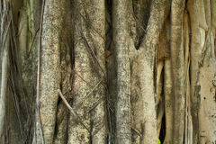 Unique texture rough tree bark Royalty Free Stock Images