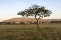 Unique Tree In Africa Stock Image