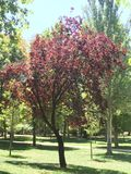 Red leaf tree in a park of Valencia stock image