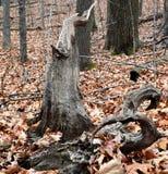 Unique tree. Unusual and unique fallen tree Stock Image