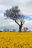 Unique Tree in Yellow Rapeseed Field. Unusual and unique tree amongst beautiful bright yellow Rapeseed field in full bloom, clouds, blue sky and other leafless Stock Photo