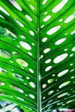 Unique tropical green leaf Royalty Free Stock Photos