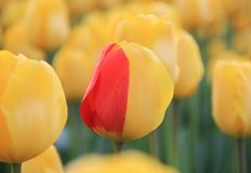 Unique tulips stock image
