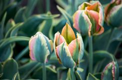 Unique tulips with green petals royalty free stock photography