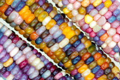 unique variety of rainbow colored corn stock photography