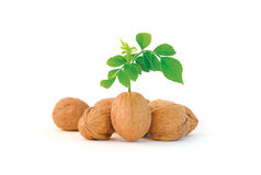 Unique Walnut. Composition of several walnuts, where one stands out from the croud Royalty Free Stock Photo