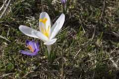 Unique white crocus flower. Unique wild white crocus flowers in the early springtime on the mountain meadow Stock Photos