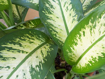 Unique white and green caladium leaves Royalty Free Stock Photography