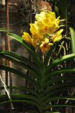 Unique yellow orchid vanda on concreate wall. Unique yellow orchid vanda growing with open roots on concreate wall because it epiphyte plant Stock Photography
