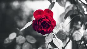 Classic Perfect Garden Red Rose And Thorns in Rain Highlighted With Black and White Conceptual royalty free stock photo