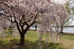 Uniquely Shaped Cherry Blossom Tree in Washington Stock Image