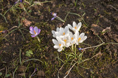 Uniqueness. White Flowers and Single Purple Flower on Soil Stock Image