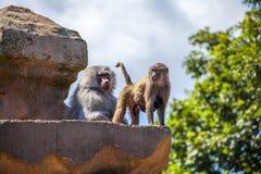 Unità del babbuino fotografia stock libera da diritti