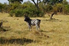 Unità della zebra Immagini Stock