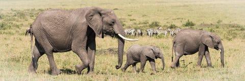 Unité familiale d'éléphant photo stock