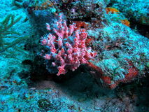 United Caribbean coral Royalty Free Stock Image