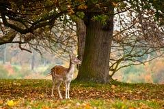 United Kingdom - Holkham. United Kingdom in pictures, fallow deer at Holkham House Stock Images