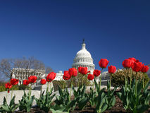 United States Capital with Tulips Stock Images