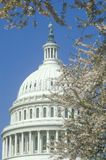 United States Capitol Building Dome through Cherry Blossoms, Washington, D.C. Stock Photo