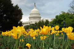 United States Capitol in Washington DC with Yellow. Yellow tulips in bloom in front of United States Capitol building in Washington, DC Royalty Free Stock Image