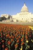 United States Capitolbyggnad på solnedgången, Washington, D C Arkivbilder