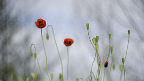 The universe - beginning and end. The image of the universe on the example of life poppies Stock Photos