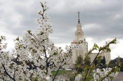 Universidad de estado de Moscú Manzano Floreciente fotos de archivo libres de regalías