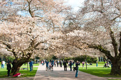 Universidad de los cerezos florecientes de Washington imágenes de archivo libres de regalías